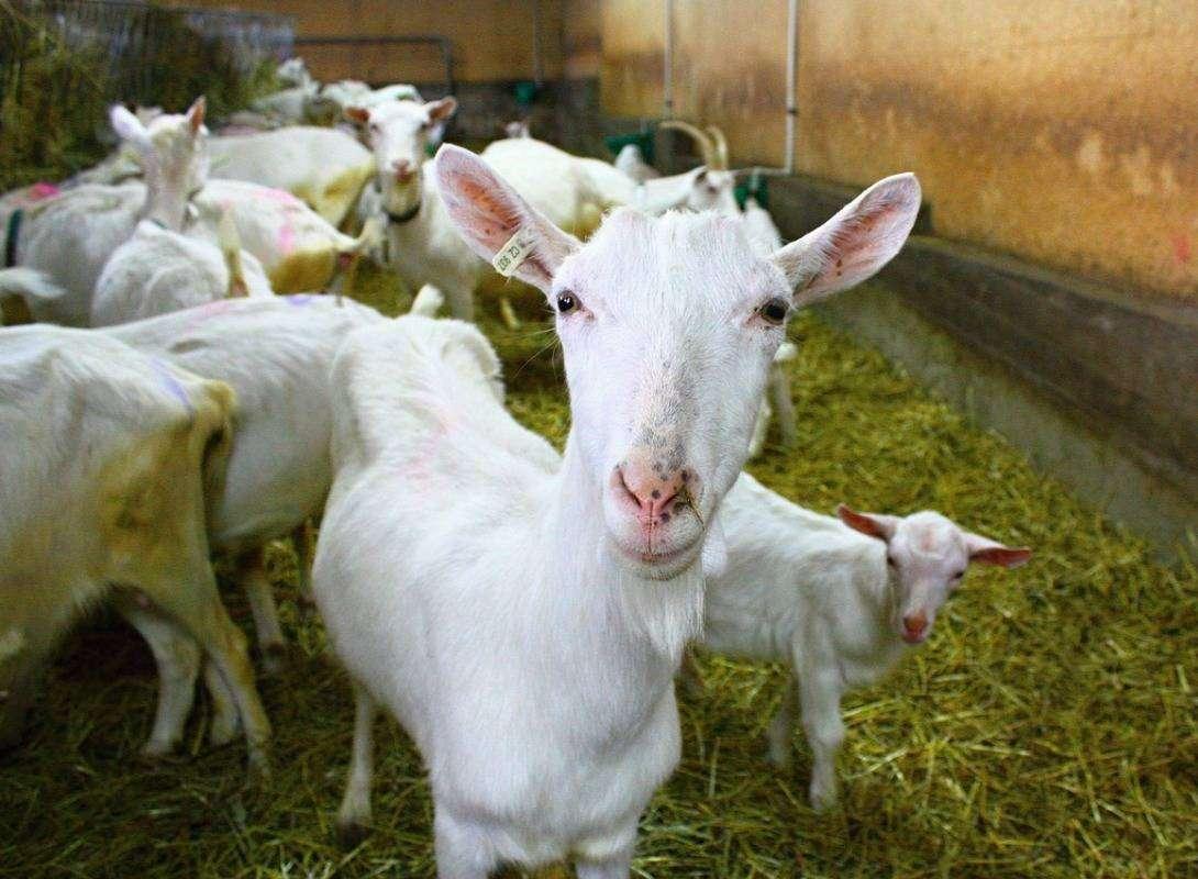 grandi-formaggi-capre-pascolo